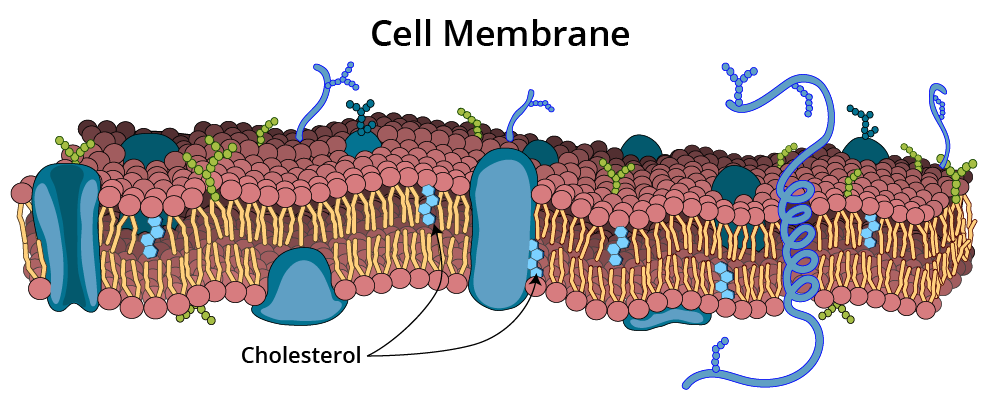 cell membrane with cholesterol