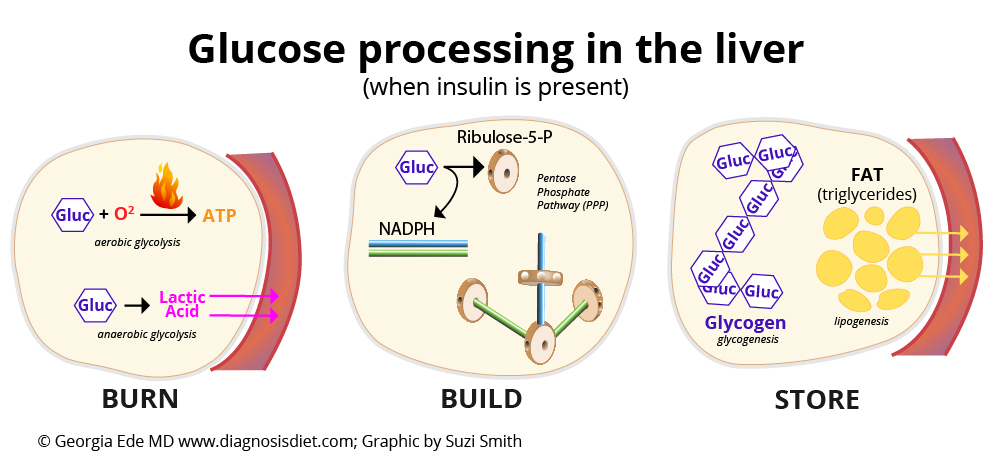 glucose-processing-in-the-liver