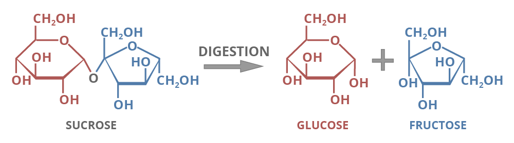 sucrose breaks into glucose and fructose
