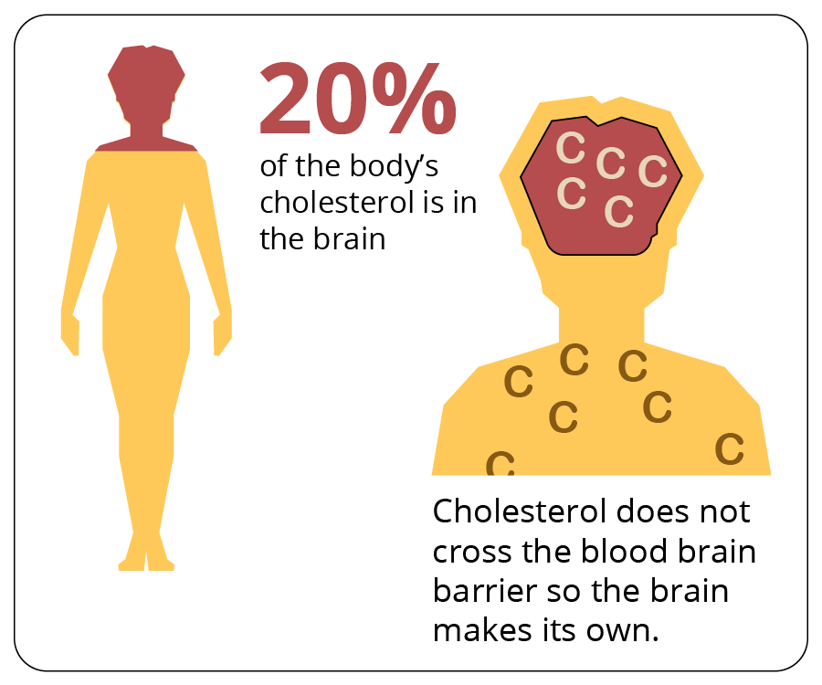20% of the body's cholsterol is in the brain